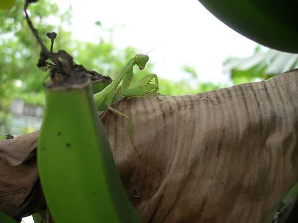 52香蕉樹上的螳螂