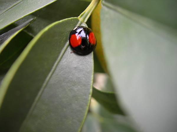 53桑椹園可愛的金龜蟲
