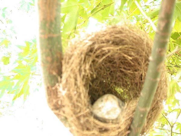 58桑椹園綠鏽眼的鳥巢,不可用手摸鳥蛋喔~不然他就會聞到人類的氣味,搬移了巢喔~