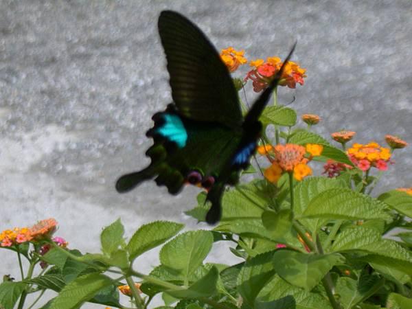 54園區中的青斑蝶