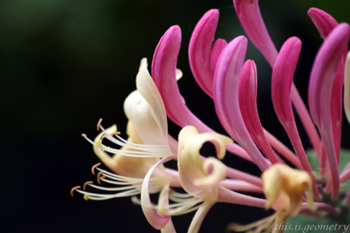 Honeysuckle_by_lilibet_the_frog.jpg