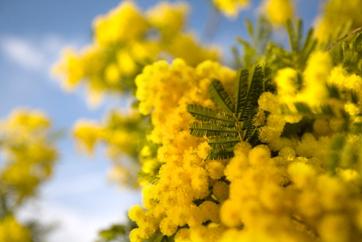 Mimosa2120308.JPG.jpeg