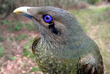 Ptilonorhynchus_violaceus_Satin_Bowerbird_male_620.JPG