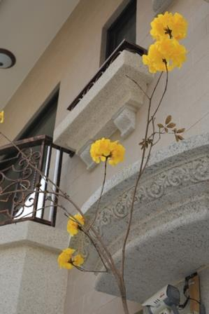 凡爾賽-黃花風鈴木