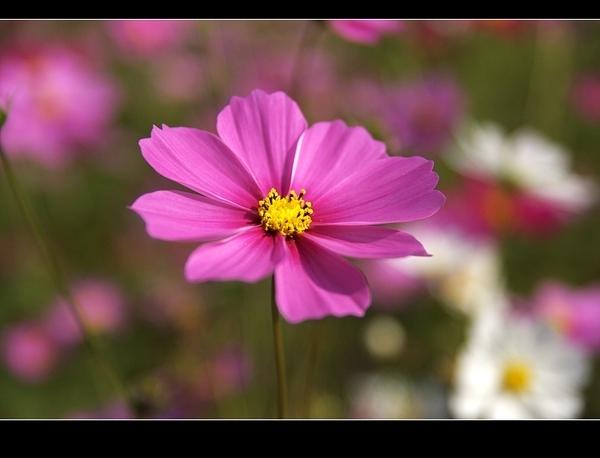 粉紅波斯菊