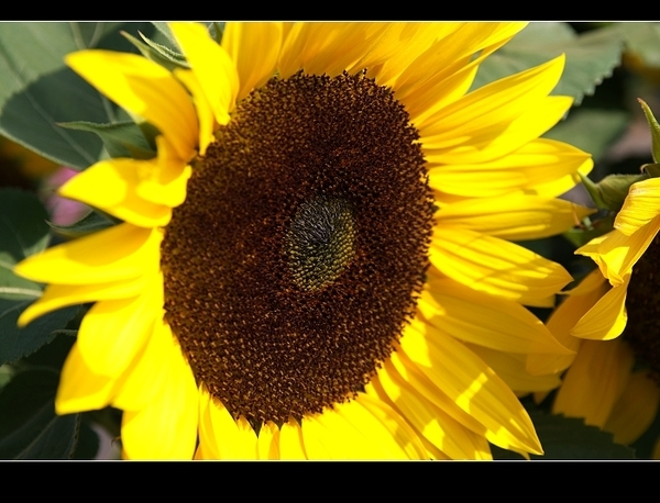 向日葵近拍