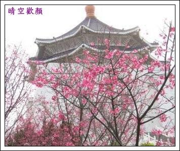中正紀念堂櫻花1