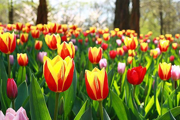春遊荷比盧【庫肯霍夫花園】荷蘭鬱金香花季~繁花盛開美不勝收
