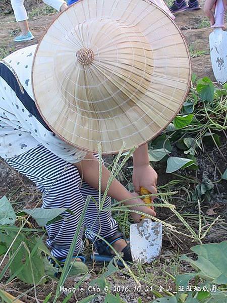 2016_1001_163959金山_旺旺地瓜園.JPG