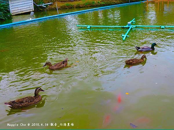 2018_0414_110655觀音_向陽農場.JPG