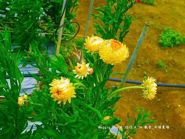 2018_0414_120009觀音_向陽農場.JPG