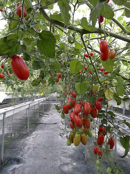依然是蕃茄們