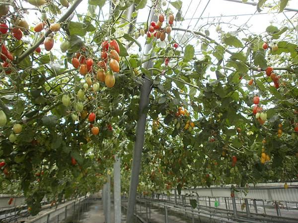 還是蕃茄們