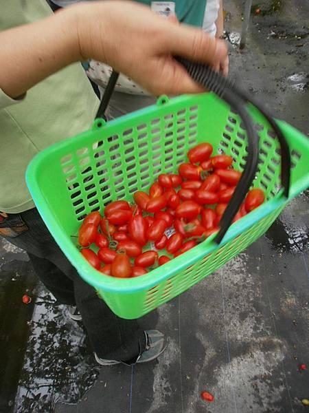我們採的蕃茄