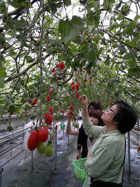 採蕃茄採蕃茄