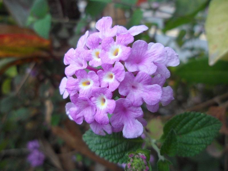 紫色馬櫻丹
