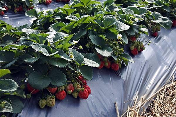 永福草莓園2.JPG