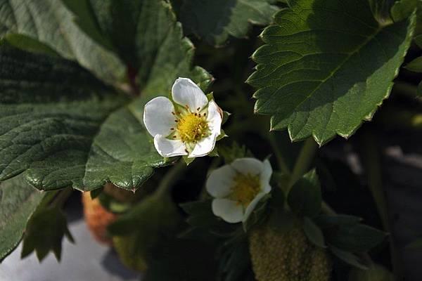 永福草莓園6.JPG