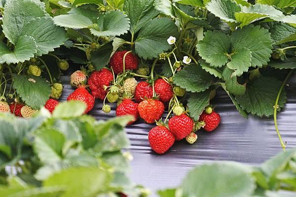 永福草莓園19.JPG