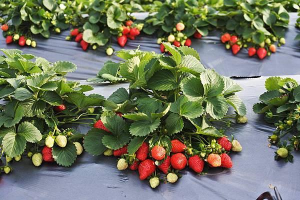 永福草莓園24-水滴草莓.JPG