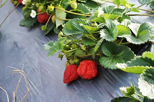 永福草莓園-寶石草莓.JPG