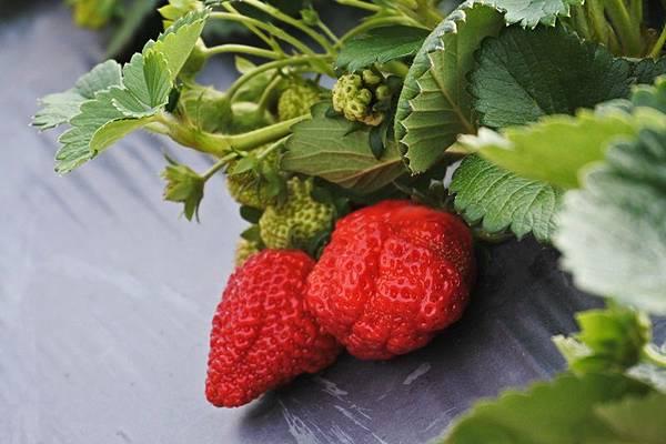 永福草莓園-寶石草莓1.JPG