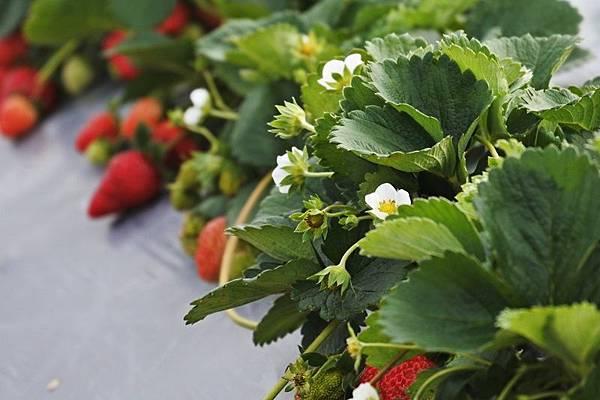 永福草莓園28.JPG