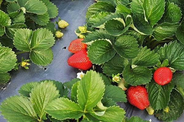 永福草莓園30.JPG