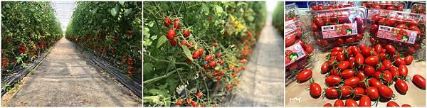 溫室的玉女小蕃茄~優惠價1500元
