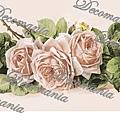 Rose_rosa_25x70