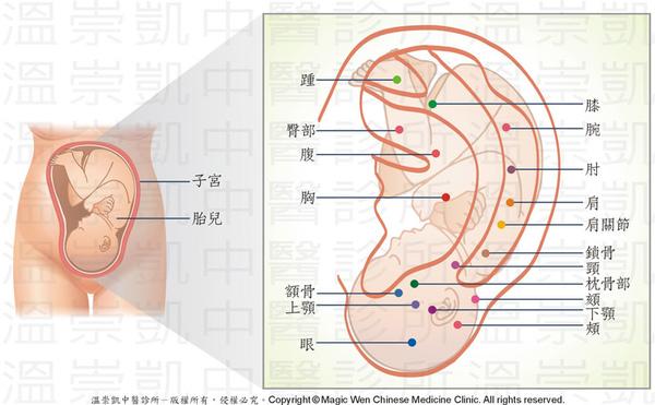 17版權-子宮-耳穴對應圖.jpg
