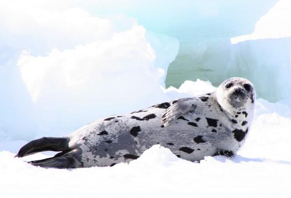 獵殺海豹2.jpg