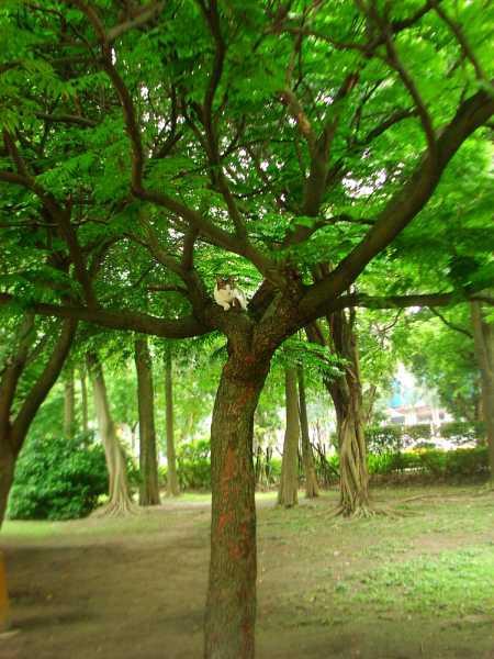 大安森林公園上樹貓01.jpg