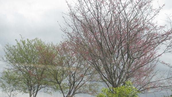 路邊ㄉ櫻花