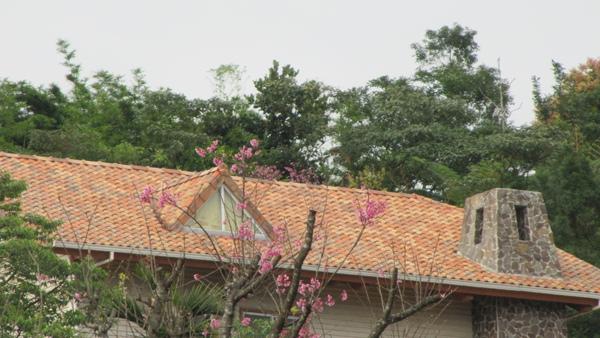 屋頂上ㄉ櫻花
