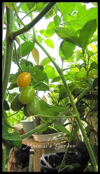 黃金番茄06.jpg