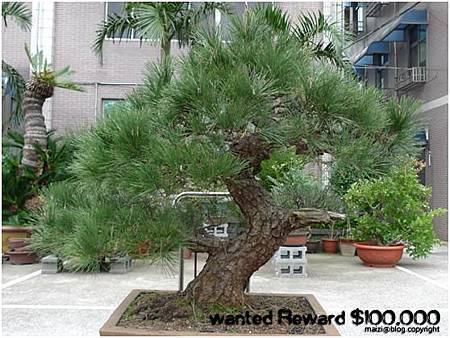 高 110 cm 黑松 於2012.9.6被偷 -1