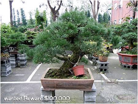 高 110 cm 黑松 於2012.9.6被偷 -2