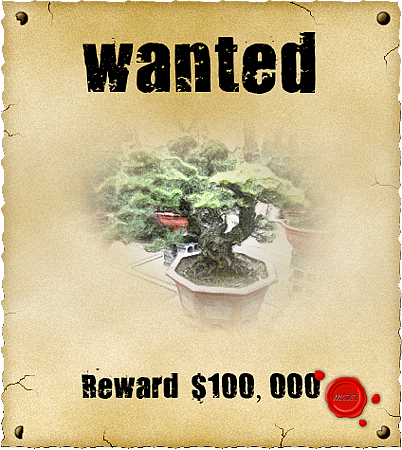 懸賞黑松盆栽樹