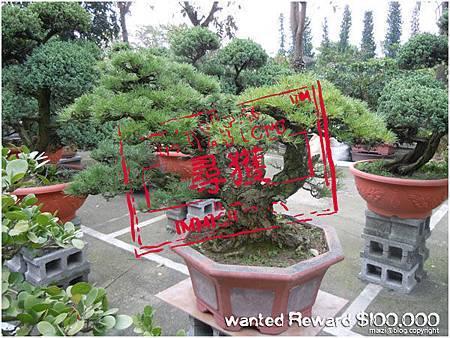 高 60cm 黑松 於2012.9.6被偷 -2(尋獲).jpg