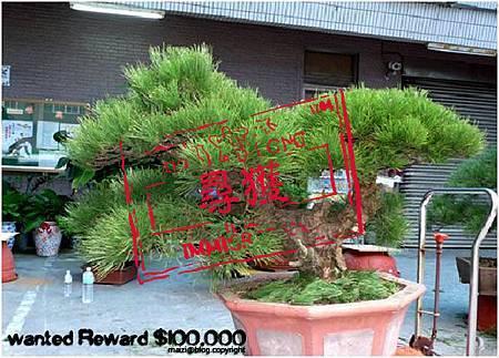 高 60cm 黑松 於2012.9.6被偷 -1(尋獲).jpg