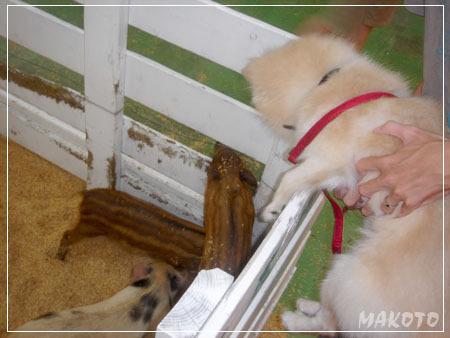 mako與豬相見驚!