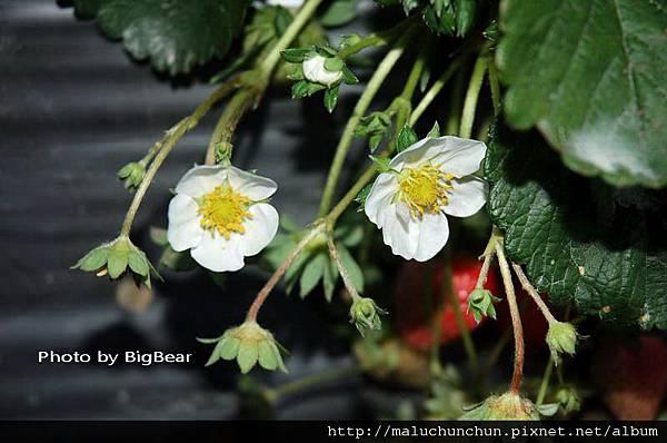 採草莓0002.jpg