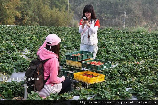 採草莓0007.jpg