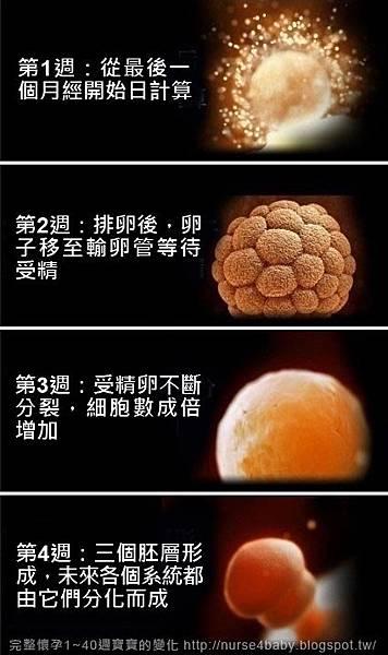 1~40週胎兒生長發育過程(寶寶發育圖解)