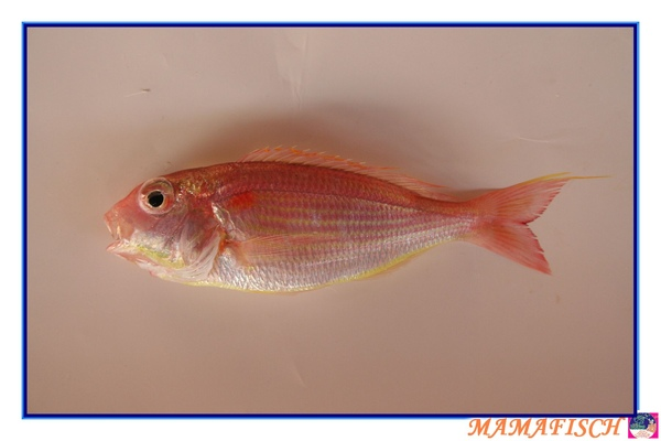 金線連魚(紅魚).jpg
