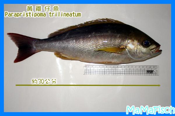 黃雞仔魚-3.JPG