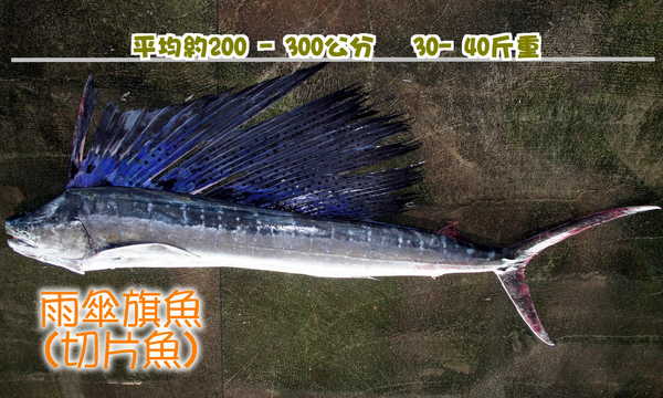 雨傘旗魚-1.JPG