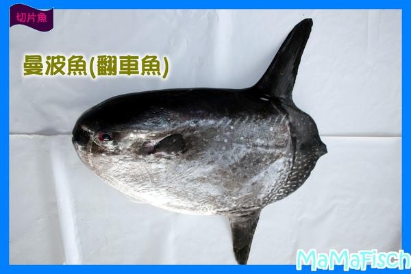 曼波魚-2.JPG