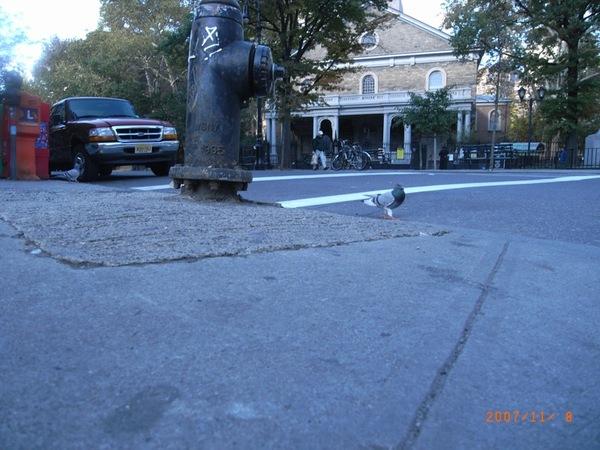 到處都有等著過馬路的鴿子